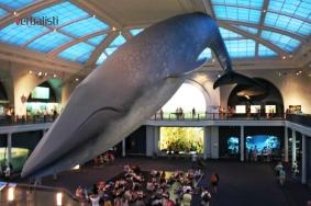 Prirodnjacki muzej i plavi kit u prirodnoj velicini